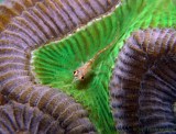 Glass Blenny