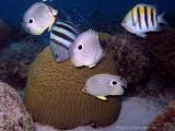 Brain Coral Spawning