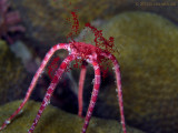 Brittle Star Spawning