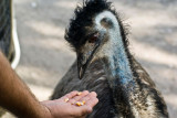 Feeding The Emu