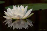Fragrant Water-Lily