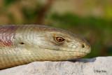 _MG_4742- Blavor /European glass lizard.jpg