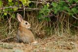 _MG_5738 Common rabbit - Kunec.jpg