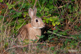 _MG_7628 Common rabbit - Kunec.jpg
