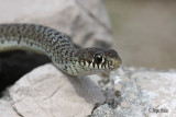 IMG_6069 Belica / Balkan whip snake .jpg