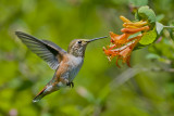 Rufous Hummer  & Orange Honeysuckle 1