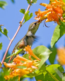 Rufous Hummer  & Orange Honeysuckle 5