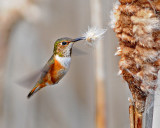 Rufous Hummer and Cattail 3