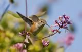Rufous Hummer and Pink Honeysuckle