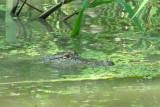 Alligator in Louisiana Swamp.JPG