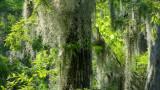 Spanish Moss - Honey Island Swamp, Louisiana USA