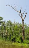 200 year old cypress.JPG