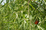Monarch Buttefly in the Willow Tree.JPG