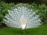 P1220553 peacock.jpg