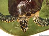 Seas turtle in Punta Culebra
