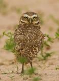 Owls & Patoos