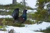 Grouses & Partridges
