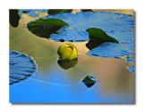 Nymph Lake Lily Pads