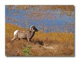 Big Horn at Sheep Lakes