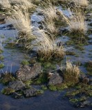 Windblown Grasses in Ephemeral Pool