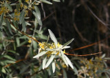 Russian Olive Flowers