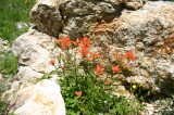 Indian Paintbrush Nestles in a Rock