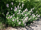 Agastache by the Path at Angel Lake
