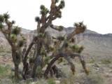 A Lush Joshua Tree