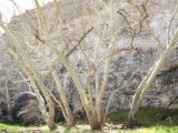 Arizona Sycamores