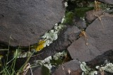 Lichens in the Crevices