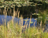 Pond Lilies and Grasses