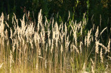 Grasses at Fish Lake