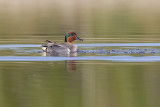 green-winged teal 051811_MG_4308