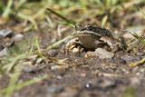 wood frog 072311IMG_8279