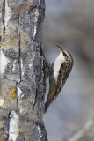 brown creeper 031112_MG_2471