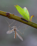 Dew Covered Cranefly