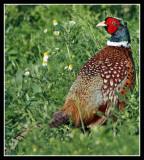 More British Birds