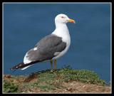 Lesser Black Backed Gulls