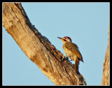 Bennets Woodpecker