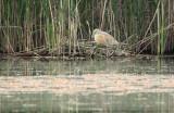 Ralreiger - Squacco heron - Heverlee, 09/05/2011