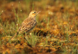Pipits/Wagtails
