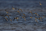 Bonte, Kleine en Krombekstrandlopers - Dunlin, Little Stint and Curlew Sandpipers