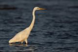 Grote Zilverreiger - Great White Egret