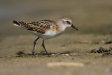 Kleine Strandloper - Little Stint