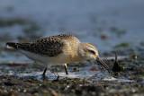 Krombekstrandloper - Curlew Sandpiper