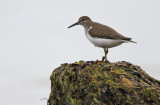 Oeverloper - Common Sandpiper