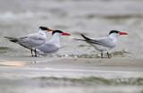 Reuzenstern - Caspian Tern