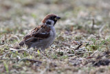 Ringmus - Tree Sparrow