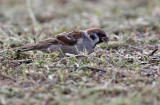 Ringmus - Tree Sparrow
