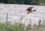 Steppekiekendief - Pallid Harrier (juv), Doel, 07/09/2011